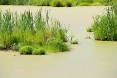 Ajardine com um pântano do pântano/verão do verde/ Imagens de Stock