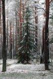 Ajardine com uma árvore coberto de neve em uma floresta do pinho do inverno Imagem de Stock