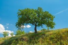 Ajardine com uma árvore de abricó em um monte contra o céu azul Imagens de Stock