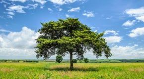 Ajardine com uma árvore no meio entre a plantação do feijão de soja Fotografia de Stock Royalty Free