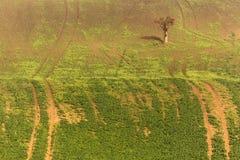 Ajardine com uma árvore só no meio do campo verde em Moravia sul, República Checa Imagens de Stock