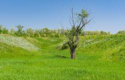 Ajardine com uma árvore só velha do bichano-salgueiro na planície Fotografia de Stock Royalty Free