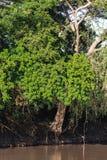 Ajardine com uma árvore verde acima da água Serengeti, Tanzânia Fotos de Stock