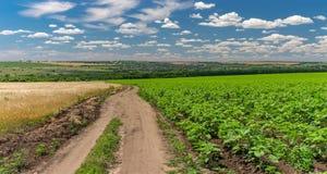 Ajardine com uma estrada de terra entre campos agrícolas do girassol e do trigo Imagem de Stock Royalty Free