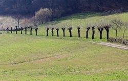 Ajardine com uma fileira de árvores de amoreira na mola e no prado Imagens de Stock