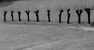Ajardine com uma fileira de árvores de amoreira na mola no preto e no wh Fotografia de Stock Royalty Free