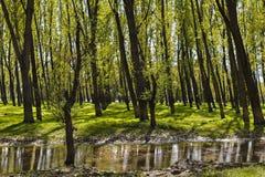 Ajardine com uma floresta de árvores do hornbeam nos pântanos com reflec Imagem de Stock