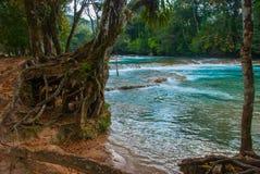 Ajardine com uma ideia de raizes da água e da árvore de turquesa México, água fabulosa Azul da cachoeira, Palenque Chiapas Imagens de Stock Royalty Free