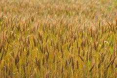 Ajardine com uma ideia do campo com trigo maduro , trigo Fotos de Stock