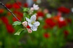 Ajardine com uma pera de florescência da mola no jardim Imagens de Stock