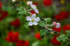Ajardine com uma pera de florescência da mola no jardim Fotografia de Stock Royalty Free