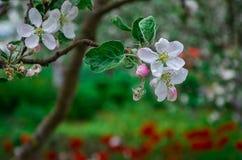 Ajardine com uma pera de florescência da mola no jardim Imagens de Stock Royalty Free