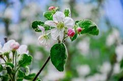 Ajardine com uma pera de florescência da mola no jardim Fotos de Stock