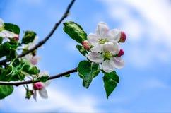 Ajardine com uma pera de florescência da mola no jardim Imagem de Stock Royalty Free