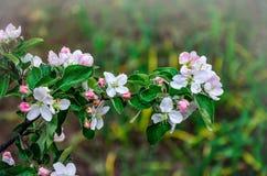 Ajardine com uma pera de florescência da mola no jardim Foto de Stock