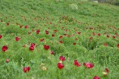 Ajardine com uma reserva natural da peônia (o peregrina do Paeonia) Fotos de Stock