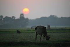 Ajardine com uma vaca no por do sol em Sundarbans, Índia Imagens de Stock