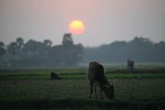 Ajardine com uma vaca no por do sol em Sundarbans, Índia Fotos de Stock Royalty Free