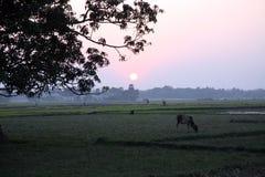 Ajardine com uma vaca no por do sol em Sundarbans, Índia Fotos de Stock