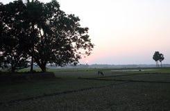 Ajardine com uma vaca que pasta a grama no por do sol em Sundarbans, Bengal ocidental Fotografia de Stock