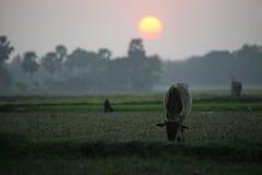 Ajardine com uma vaca que pasta a grama no por do sol em Sundarbans, Bengal ocidental Imagem de Stock