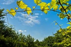 Ajardine com uma videira contra um céu azul. Imagem de Stock Royalty Free