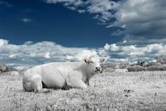 Ajardine com a vaca no tom branco e azul Imagem de Stock Royalty Free