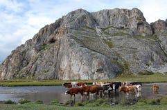 Ajardine com vacas pastadas Imagens de Stock Royalty Free