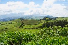 Ajardine com vacas, Sao Miguel, as ilhas de Açores, Portugal Imagem de Stock