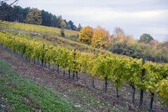 Ajardine com vinhedos do outono e a uva orgânica no ramo da videira Imagens de Stock