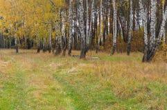 Ajardine con el camino de tierra a la arboleda del abedul en Ucrania Foto de archivo