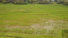 Ajardine con el campo Bali, Indonesia de la terraza del arroz almacen de metraje de vídeo