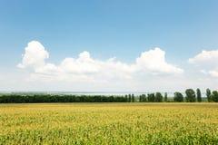 Ajardine con el campo del maíz y el cielo azul nublado Foto de archivo