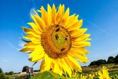 Ajardine con el girasol alto en un campo de flor Imagenes de archivo