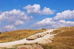 Ajardine con la manada de las ovejas que vienen abajo la colina Balcanes, Montenegro, Krnovo Fotografía de archivo