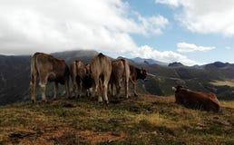 Ajardine con las vacas en Picos de Europa, España Imagen de archivo libre de regalías