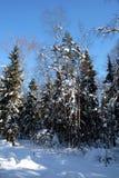 Ajardine con los altos árboles nevados en sombras en el bosque del invierno después de nevadas en día soleado brillante Imagen de archivo