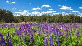 Ajardine con los altramuces púrpuras en el campo cerca del bosque Fotos de archivo