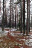 Ajardine con los caminos pisoteados a la tierra en un bosque del pino del invierno foto de archivo