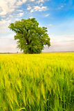 Ajardine con un árbol solo en un campo de trigo Fotografía de archivo