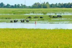 Ajardine, delta de Mekong, búfalo, campo inundado do arroz Imagem de Stock Royalty Free