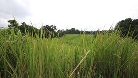 Ajardine el campo de hierba verde, parque nacional de Khao Yai, Tailandia almacen de metraje de vídeo