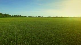 Ajardine el campo de trigo verde en el cielo azul del fondo Antena del campo metrajes