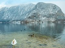 Ajardine el cisne del lago, pájaro Hallstatt del pato en montaña de la nieve de la estación del invierno de Austria Imagenes de archivo
