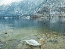 Ajardine el cisne del lago, pájaro Hallstatt del pato en montaña de la nieve de la estación del invierno de Austria Fotos de archivo libres de regalías