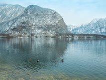Ajardine el cisne del lago, pájaro Hallstatt del pato en montaña de la nieve de la estación del invierno de Austria Foto de archivo