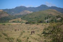Ajardine em Cuba, em campos e em cavalos perto de Trinidad Imagens de Stock Royalty Free