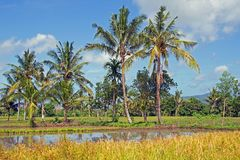 Ajardine em Lombok em Indonésia com campos e palmeiras do arroz Imagem de Stock