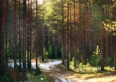 Ajardine em um forestlandscape do pinho em um fundo da floresta do pinho bonito Fotos de Stock