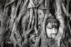 Ajardine, a estátua principal de Wat Maha That buddha da árvore da Buda prendida em raizes da árvore de Bodhi Parque histórico de Fotos de Stock Royalty Free